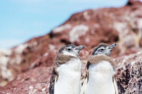 Navegación con desembarque en la Antártida Argentina, desde Ushuaia en Argentina. Antarctica Voyage with landings from Ushuaia in Argentina. Magellanic Penguin (Spheniscus magellanicus)