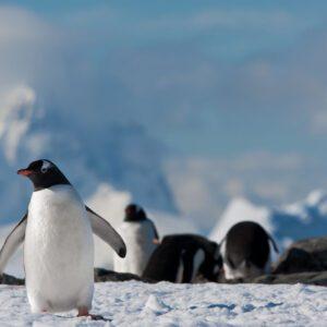 Antartida pinguino