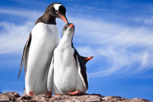 Navegación con desembarque en la Antártida Argentina, desde Ushuaia en Argentina. Antarctica Voyage with landings from Ushuaia in Argentina. Penguins.