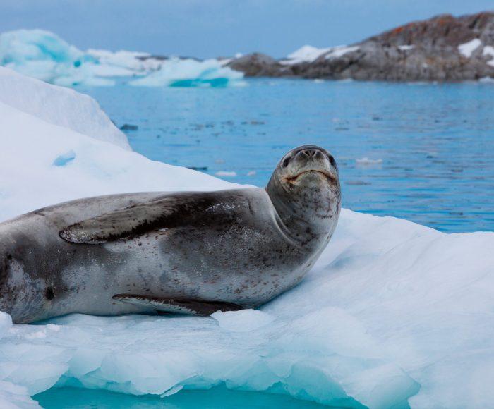 Navegación con desembarque en la Antártida Argentina, desde Ushuaia en Argentina. Antarctica Voyage with landings from Ushuaia in Argentina. Leopard seal antarctica.